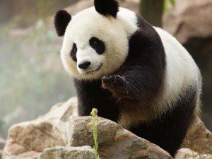 zoo-de-beauval-panda-parrainage