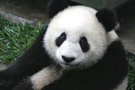 pandas-beauval