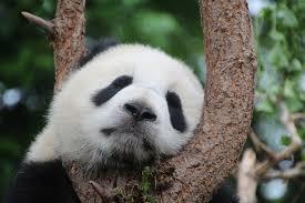 zoos-pandas-france-europe
