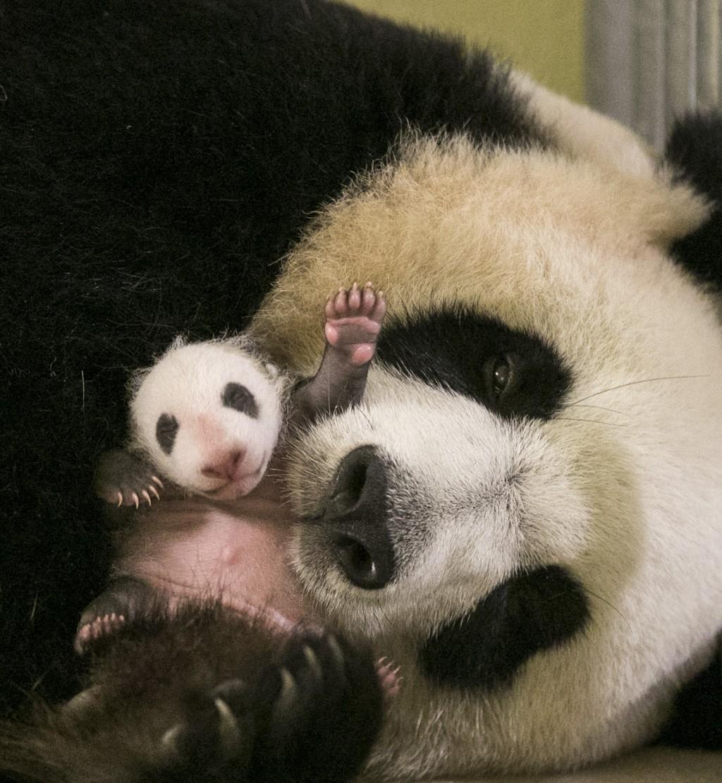 Les 10 photos les plus craquantes du b b panda n au zoo de beauval et vid o - Coloriage famille panda ...