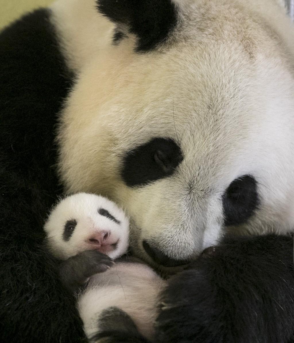 Gros calin pour mini Yuan Zi traité comme un roi par maman panda et les soigneurs !