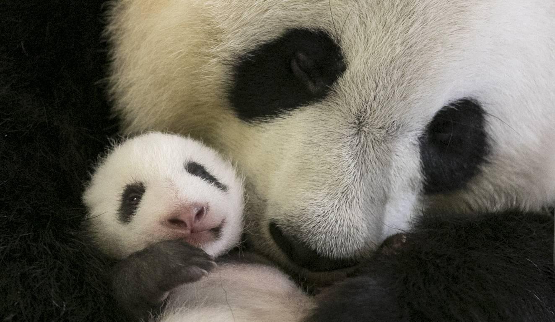 2 mois, le moment d'ouvrir les yeux et de découvrir le monde (et maman Panda !)