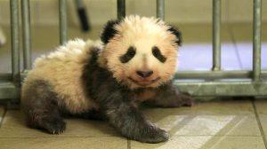 vidéo bébé panda zoo beauval