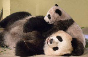 bébé panda zoo de beauval